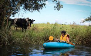 Woman in blue kayak taking a day trip on the Orara river looking at cows on shore